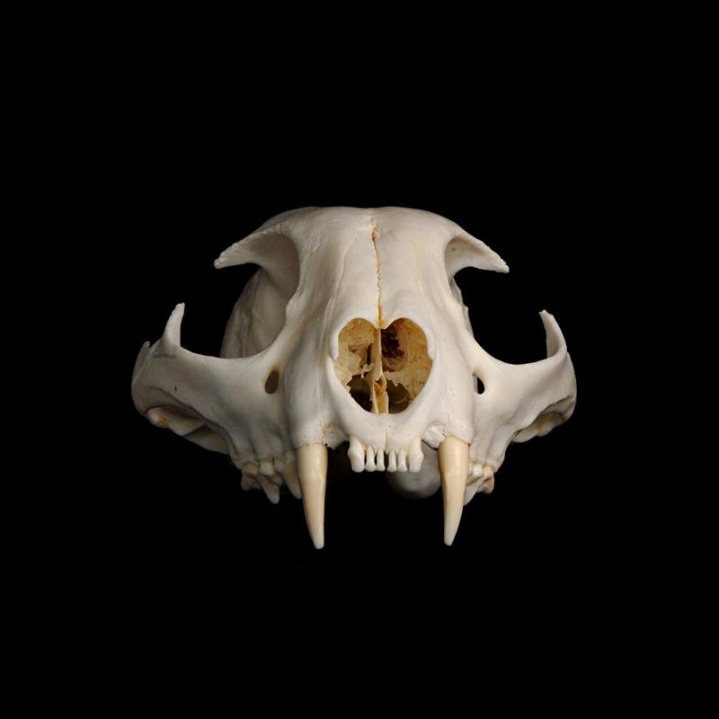 Cráneo de Lynx pardinus