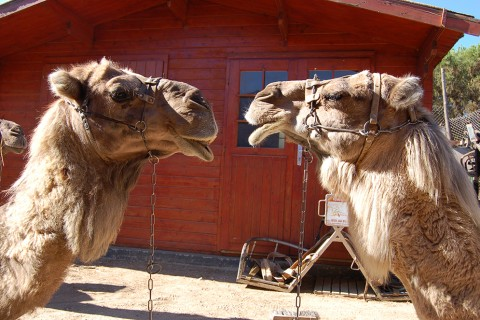 Jornadas en Biología en el Día Mundial del Camello