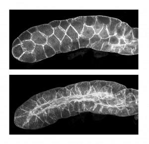 Las células epiteliales adoptan una nueva forma geométrica para que los tejidos puedan curvarse