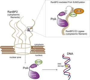 Nuevo mecanismo molecular del proceso de reparación del ADN